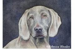 watercolor-weimaraner-b-rebecca_rhodes