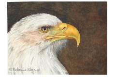 world-watercolor-month-4a-bald-eagle-rebecca_rhodes