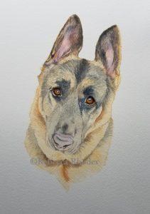 watercolor-WIP-german-shepherd-pet-portrait-2-rebecca_rhodes