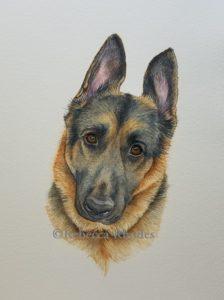watercolor-WIP-german-shepherd-pet-portrait-3-rebecca_rhodes
