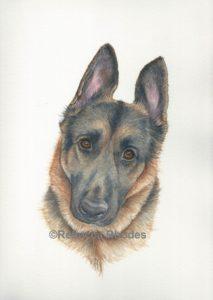 watercolor pet portrait German Shepherd by Rebecca Rhodes